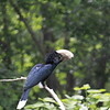 Silvery-cheeked Hornbill ~ Bycanistes brevis