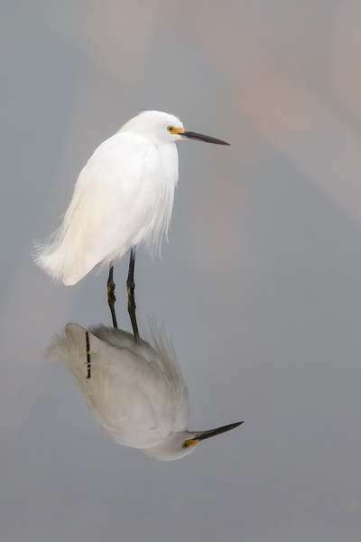 Snowy egret with reflection standing in dead still water.
