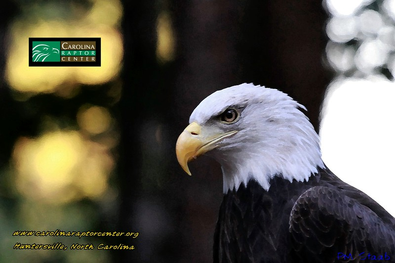 Carolina Raptor Center - I made this from a picture I took of Lady CLT the Eagle. changed it to a painting style