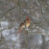 Female Cardinal in Snow - Icicles on Feet<br /> 1st Place Birds - Wilson County Fair 2010