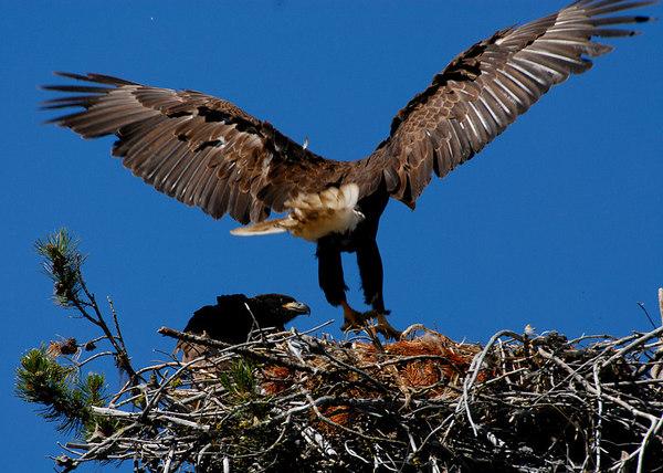 Bald Eagle lands in nest with juvenile eagle, Lake Cascade, Idaho