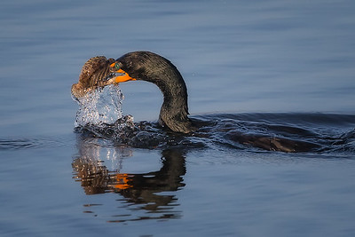 Double Crested Cormorant With Dinner