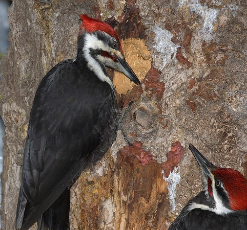 Two Pileated Woodpeckers look for carpenter ants