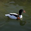 Common Shelduck ~ Tadorna tadorna