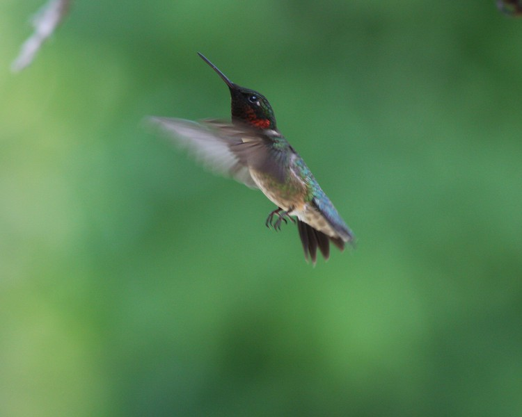 Hummingbird Flight Heading for the Trees