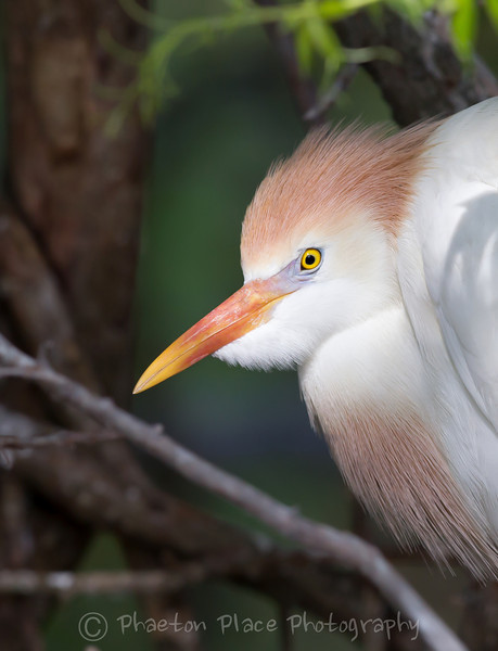 Cattle Egret Profile