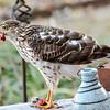 Sharp Shinned Hawk on Milton 010316-3658