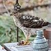Sharp Shinned Hawk on Milton 010316-3652