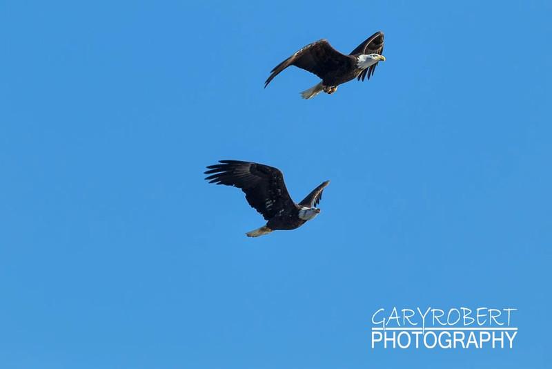 Eagle-6148