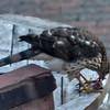 Sharp Shinned Hawk on Milton 010316-3649