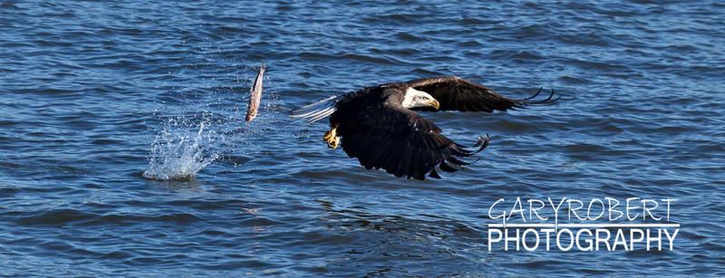 Eagle-6263