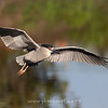 Black Crowned Night Heron in Flight