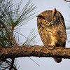 Great Horned Owl Grooming