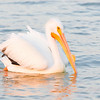 White Pelican - Male at Sunset<br /> 20100311-IMG_3483-2