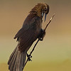 Boat Tail Grackle - female
