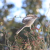 Mockingbird Takeoff