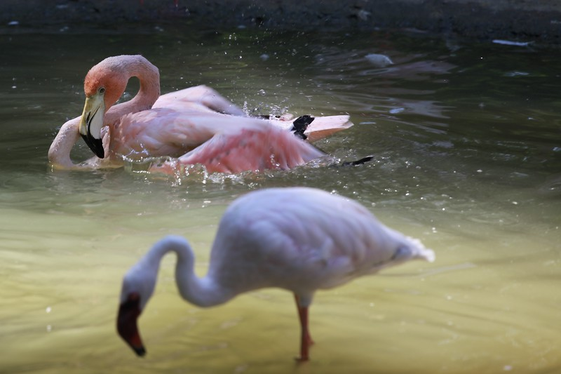 Chilean Flamingo ~ Phoenicopterus chilensis in the back and Lesser Flamingo ~ Phoenicopterus minor out of focus in the front