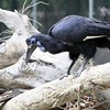 Abyssinian Ground Hornbill/Northern Ground Hornbill ~ Bucorvus abyssinicus