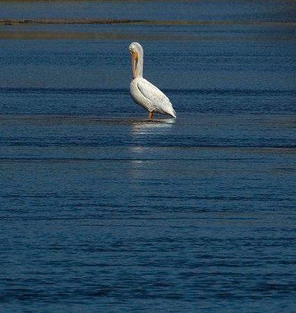 American White Pelican, Cascade, Idaho