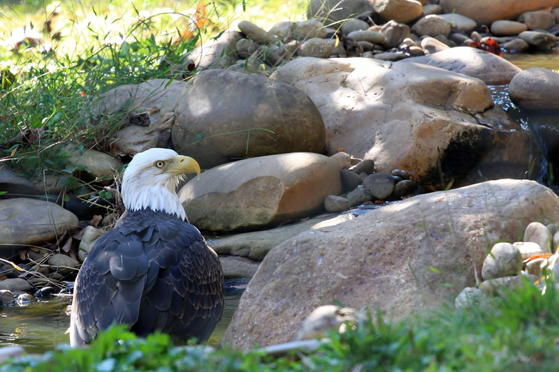 Bald Eagle inside the enclosure at the pool.  They have a webcam on their site.