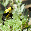 Picture of an American Goldfinch feeding on cone flowers.