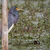 Tricolored Heron with Apple Snail