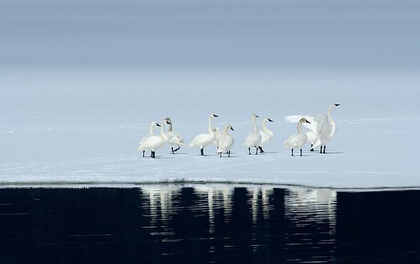 Tundra Swans on frozen Payette Lake, McCall, Idaho