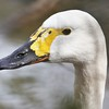 Close up Whistling (Tundra) Swan ~ cygnus columbianus