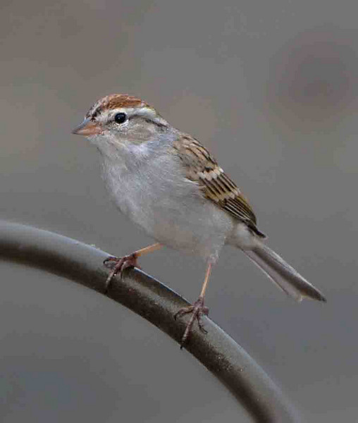 Chipping Sparrow<br /> 20100307-IMG_3098-2