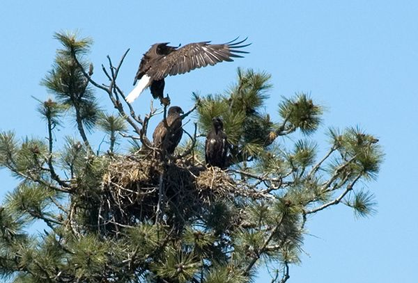 Bald Eagle lands at nest