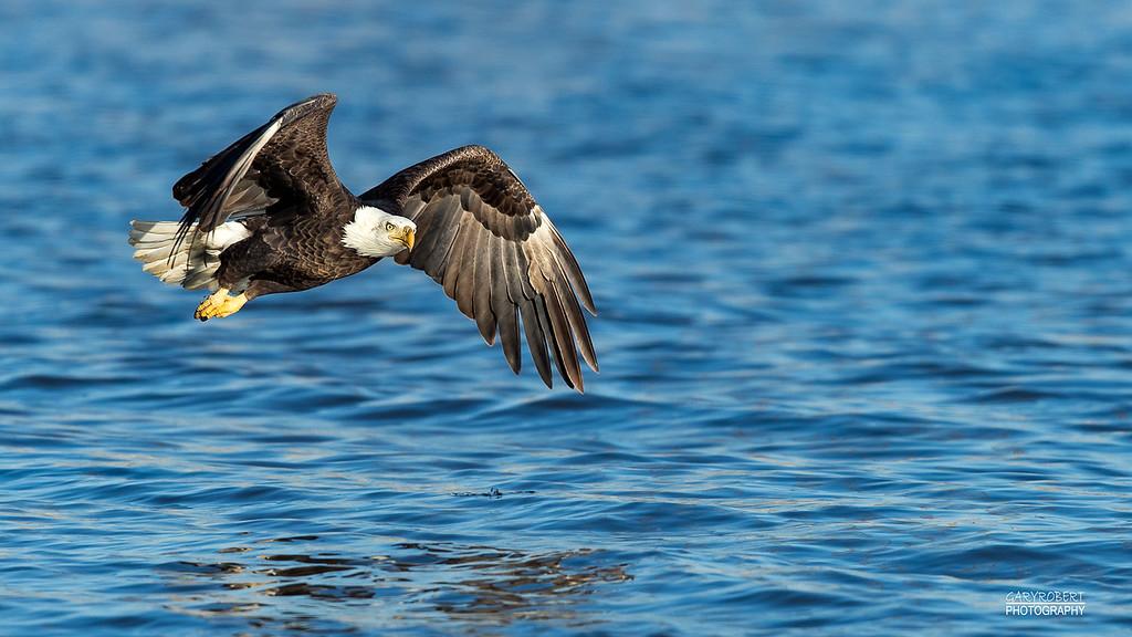 Eagle-9797_Crop