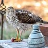Sharp Shinned Hawk on Milton 010316-3662