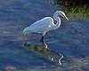 Bolsa Chica Egret