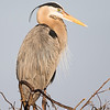 Great Blue Heron - Standing Portrait