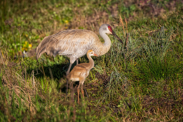 Mother sandhill crane and colt foraging for food near the pong where the colt was born.