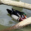 American Wood Duck - Also known as the Carolina Duck