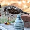 Sharp Shinned Hawk on Milton 010316-3665