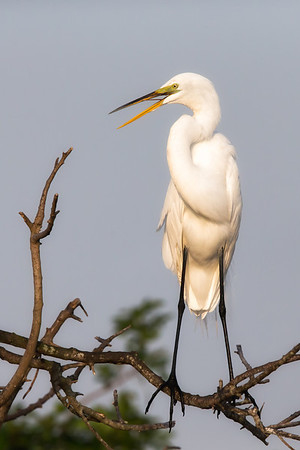 Great egret in breeding plummage perched on branch.