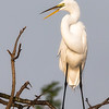 Great Egret Perched