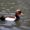 Red-crested Pochard  ~ Netta rufina