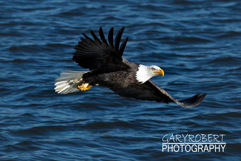 Eagle-6397