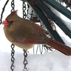 Cardinal at the feeder