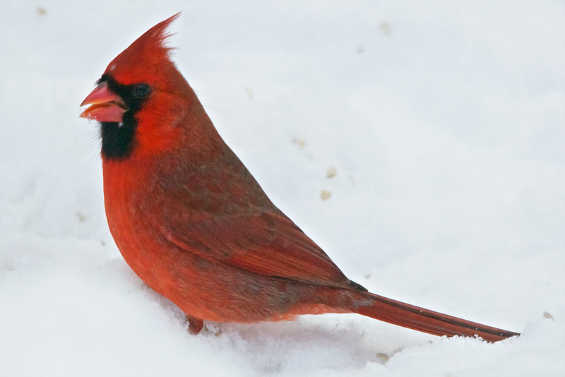 North American Cardinal (Male)