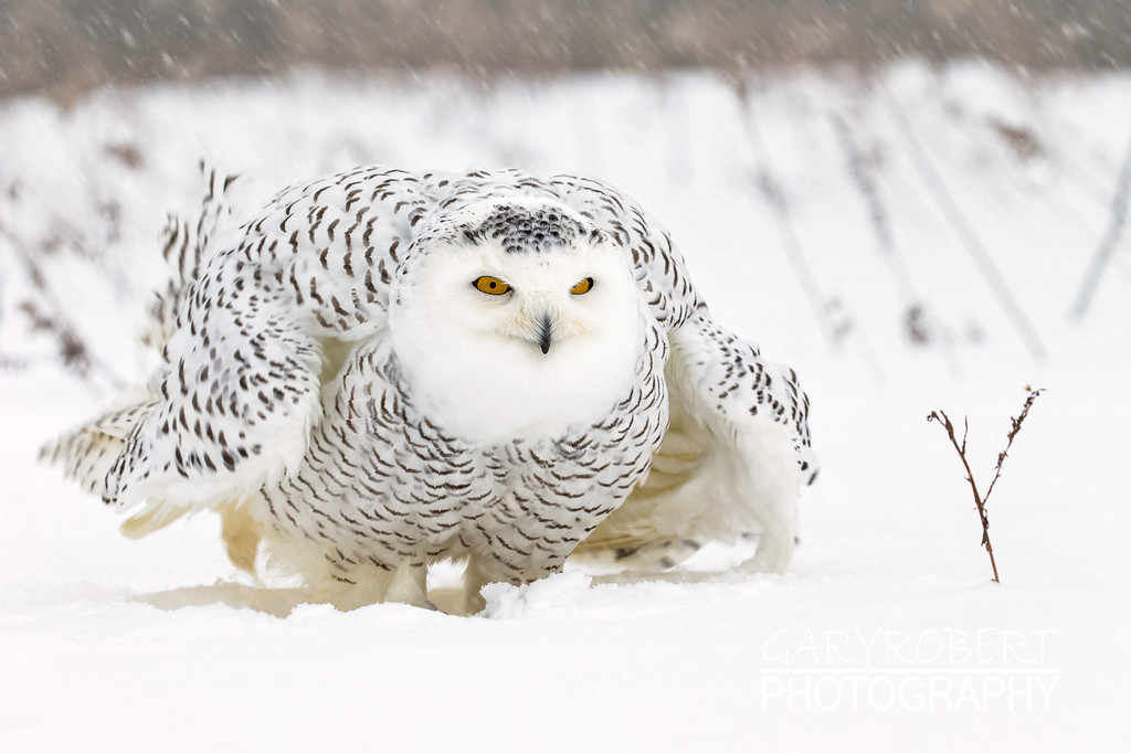 PD_Snowy Owl-1163-2