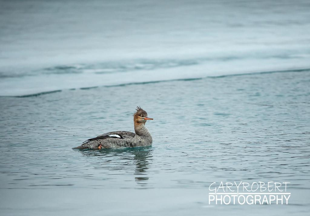 Duck-6257
