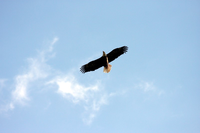 Eagle in Flight at Buckhorn Lake