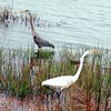 Gray Heron and White Egret