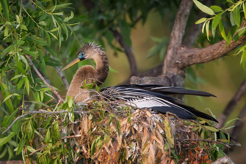 Anhinga On Nest