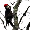 Pileated Woodpecker Windy at the top of the Pecan Tree