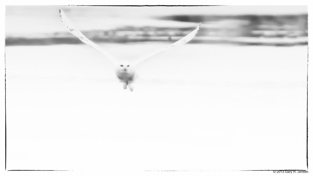 Snowy Owl BW - 6320
